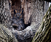 Great Horned Owl Female On Nest 2