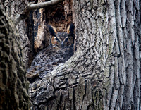 Great Horned Owl Female On Nest 1