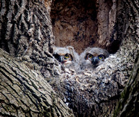 Great Horned Owl Nestlings 4b