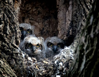 Great Horned Owl Nestlings 1