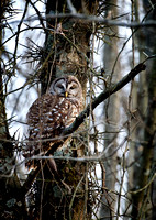 Barred Owl 030816-1