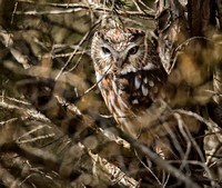 NorthernSawWhetOwl-3