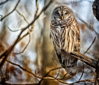 Barred Owl 022619-1