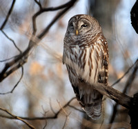 Barred Owl 022619-3