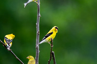 American Goldfinch (2)
