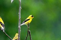 American Goldfinch (1)